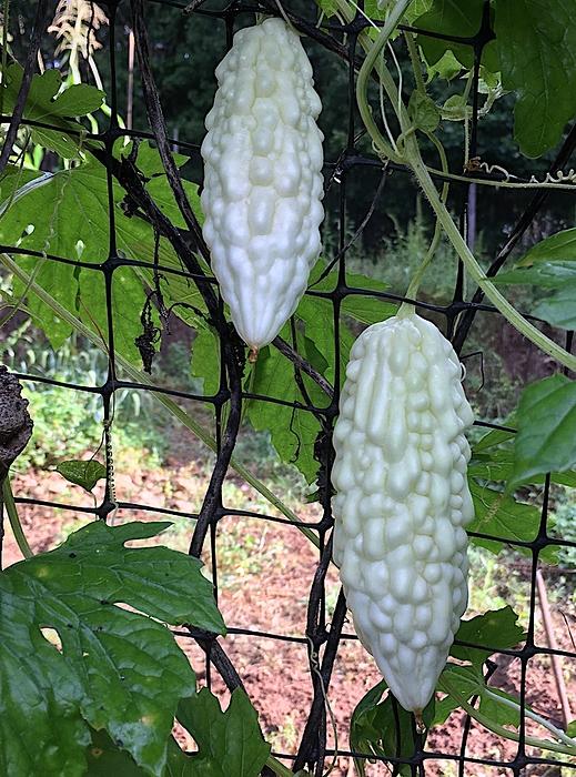 whitemomordica