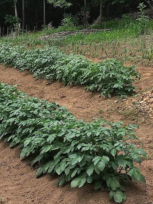potatoplants