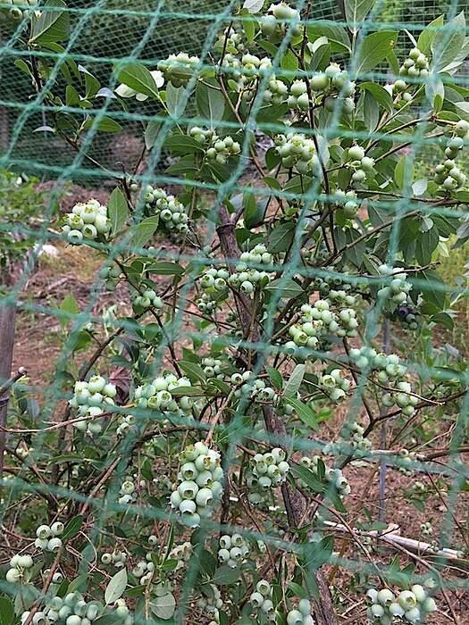 rekagreenberries