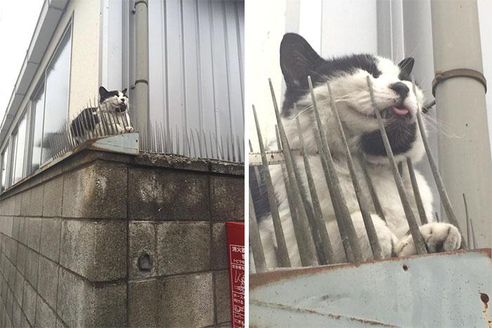 cats-build-resistance-deterring-spikes-japan-7-58528d84774b1__700